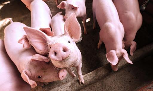 Rencontre publique le 9 septembre sur le projet de porcheries dans le Canton de Valcourt