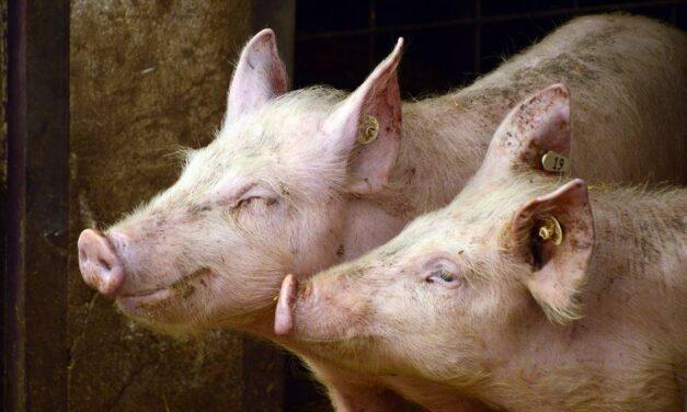 Les Éleveurs de porcs confiants qu'une entente soit conclue dans le conflit de travail chez Olymel